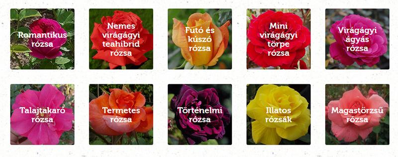 Megyeri Szabolcs rózsa ajánlatok
